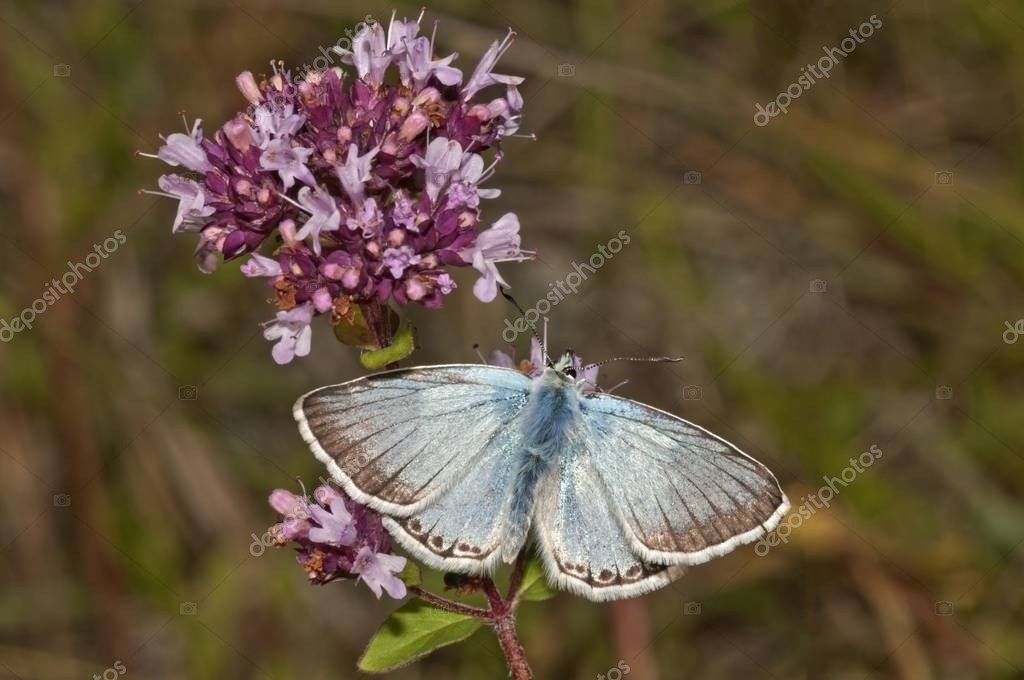 Chalkhill Blue butterfly (Lysandra coridon), male searching for nectar on thyme, Neresheim, Baden-Wuerttemberg, Germany, Europe