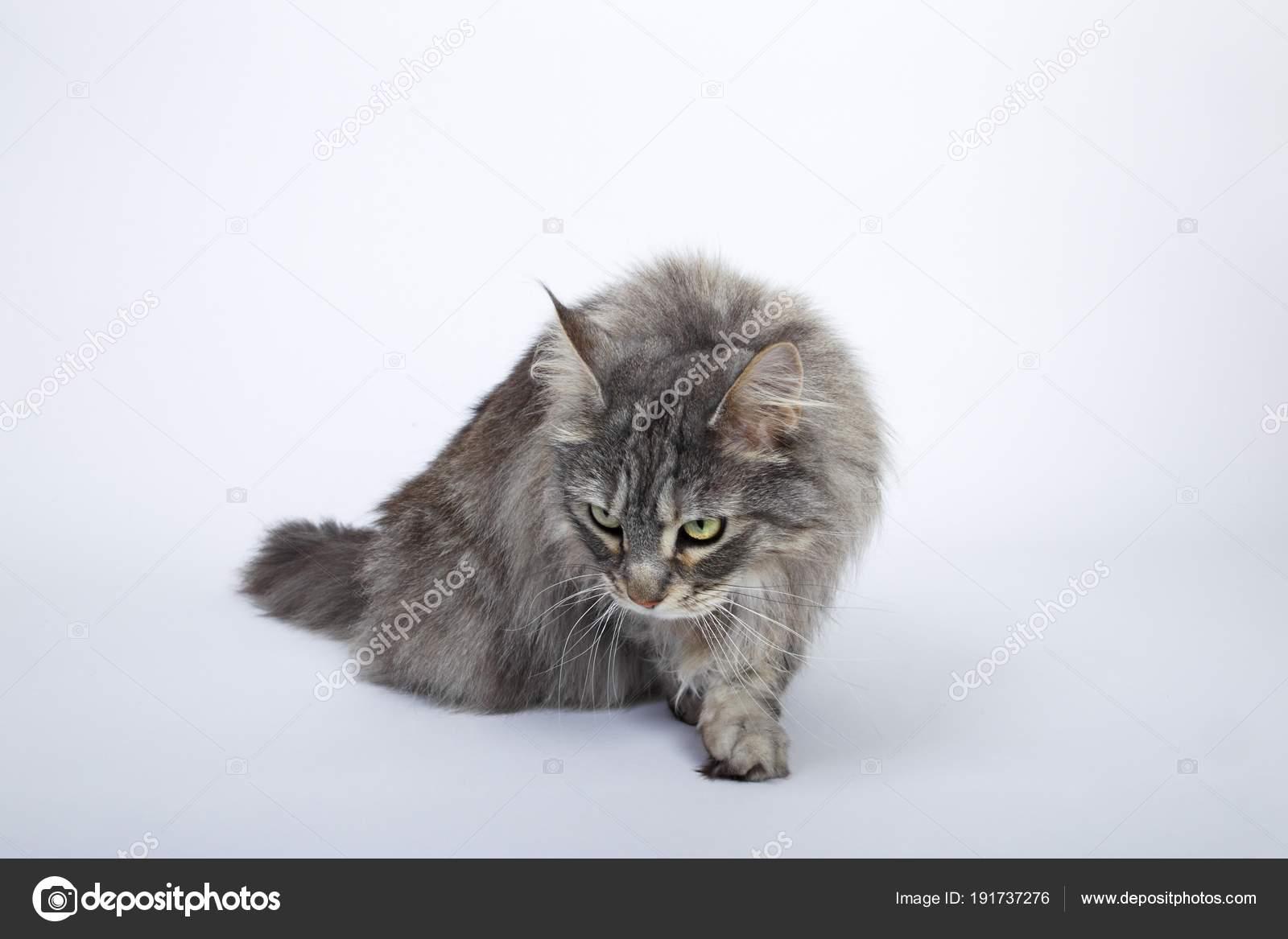 Maine Coon Kot Biały Studio Zdjęcie Stockowe