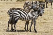 Fotografie zebry v Keni,