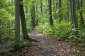 Nyomvonal keresztül erdő zöld fák