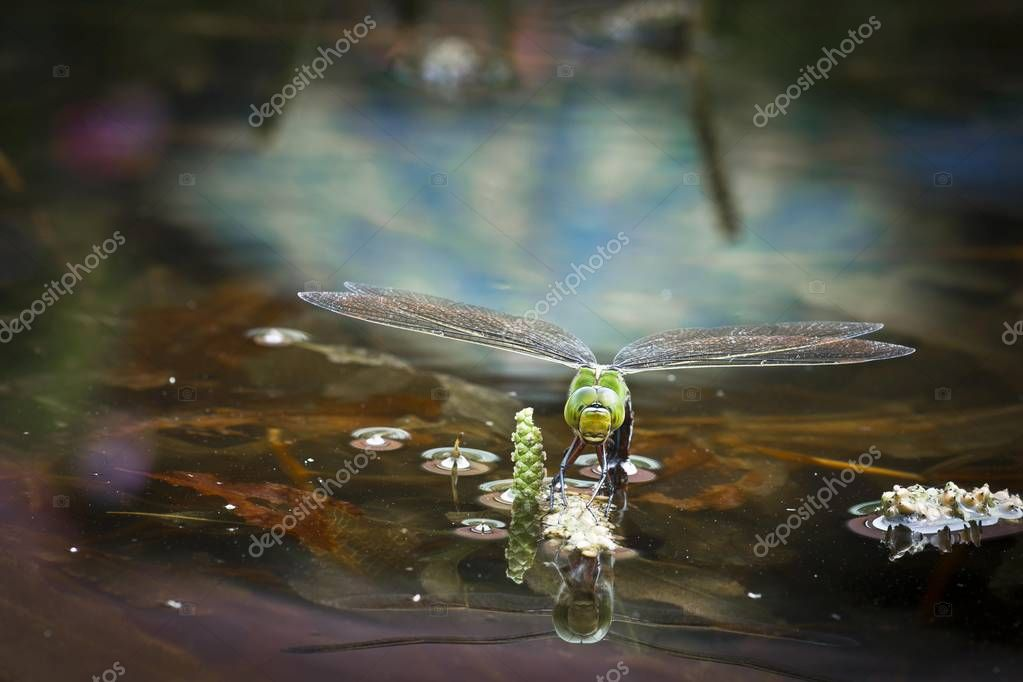 Emperor Dragonfly, Blue Emperor, Anax imperator, female insect laying eggs