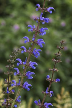 purple Meadow Clary flowers or Meadow Sage, Salvia pratensis