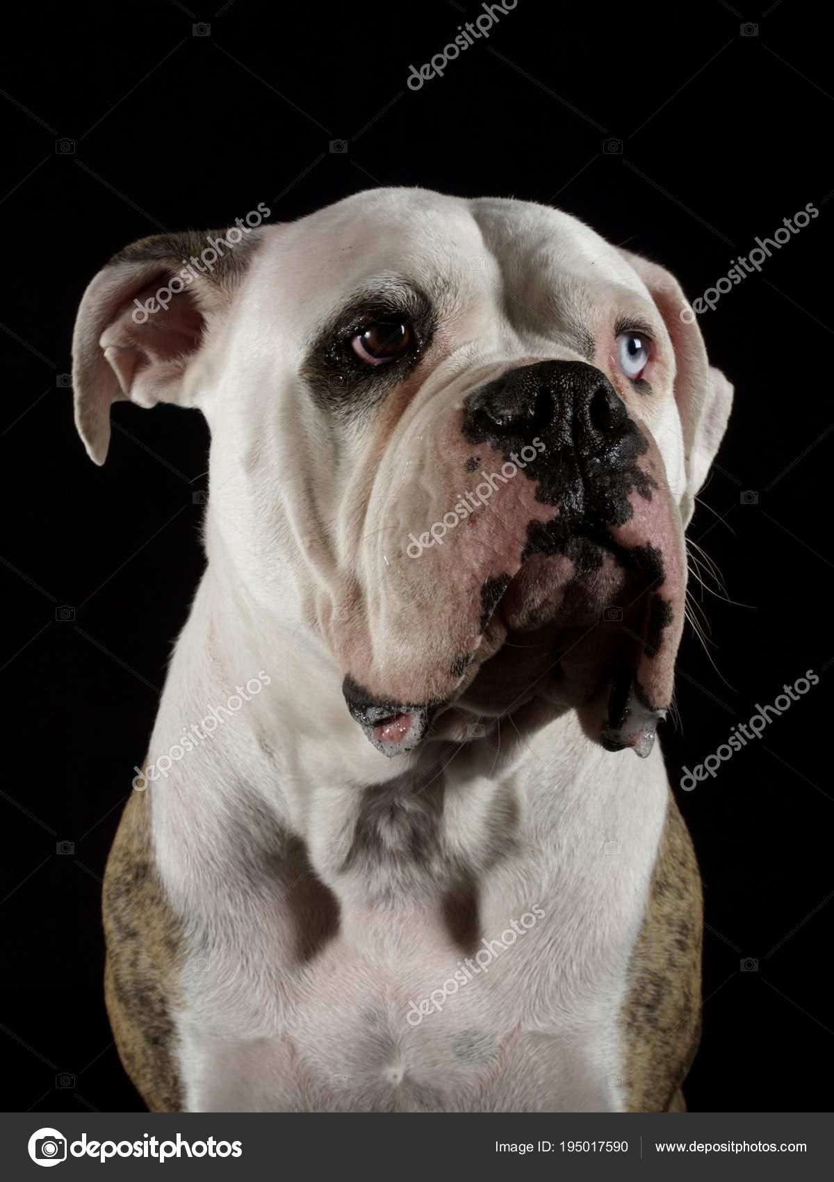 Bulldog Americano Estúdio Fundo Preto Stock Photo