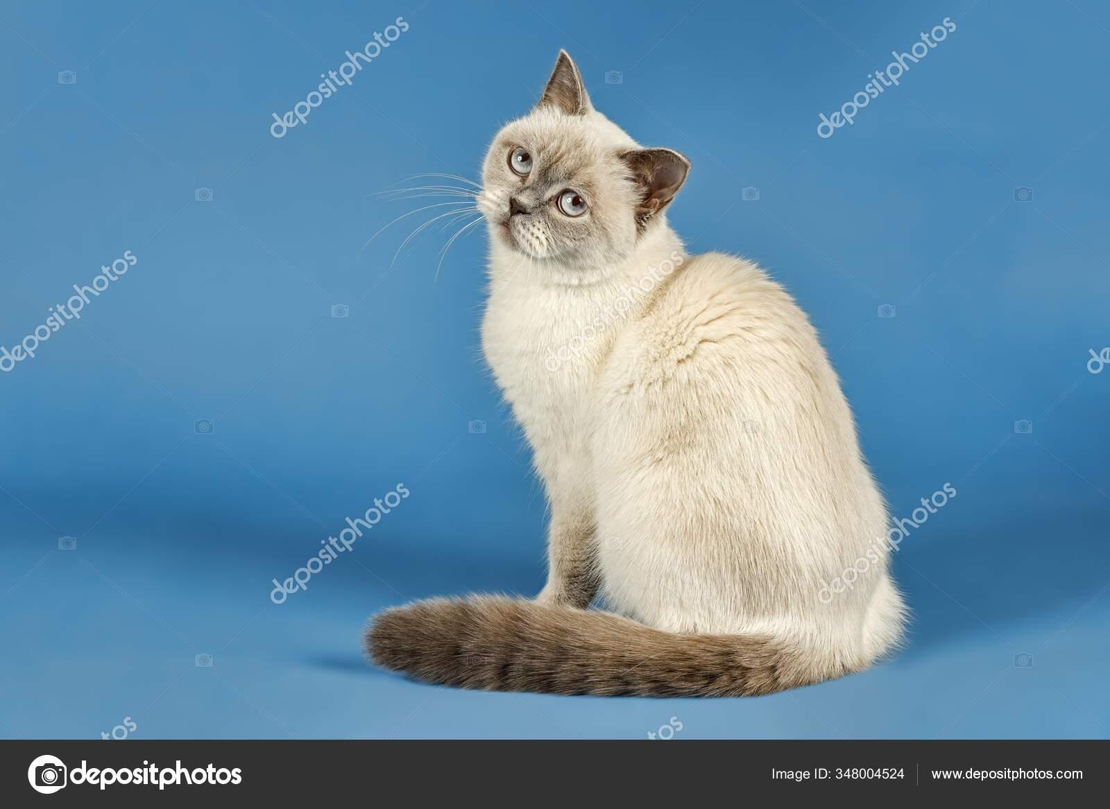 British Shorthair Cat Years Colour Lilac Point Stock Photo C Imagebrokermicrostock 348004524