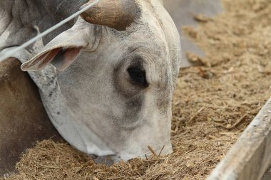 Confined cattle eating feed