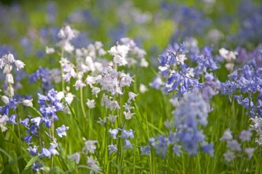 Bluebells and Pinkbells Close Up