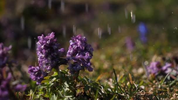 Květ Corydalis se zalévá v zahradě.