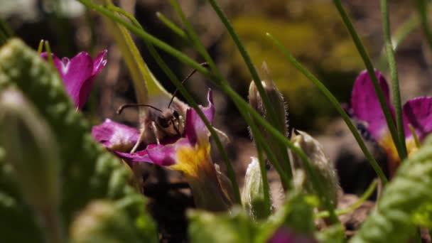 Gonepteryx-Schmetterling sitzt auf einer Blume und trinkt Nektar.