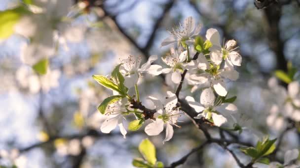Větev kvetoucího jabloně se houpe ve větru.