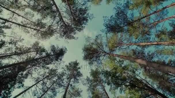 Blick auf Bäume im Wald nach oben mit Bewegung mit Stedicam, Kiefern