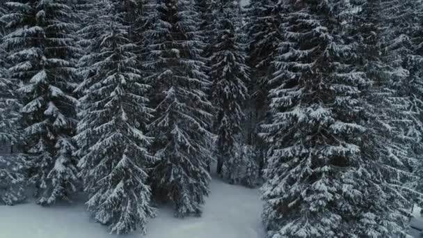 Image result for pine forest in winter