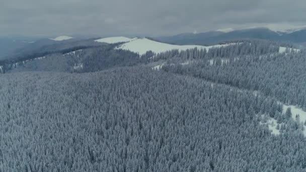 Zimní sněhová borovice lesní dron letu v horách