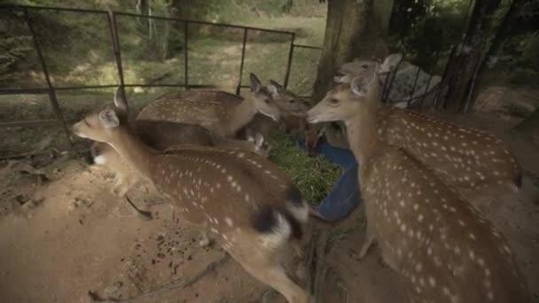 Srnec zoo Thajsko samui zvířata přírody, volně žijící zvířata, roe, buck, kožešiny, roedeer, capreolus, divoký, hnědá