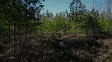 Spring pine forest green, nature, outdoor, tree, beautiful, spring, environment, natural