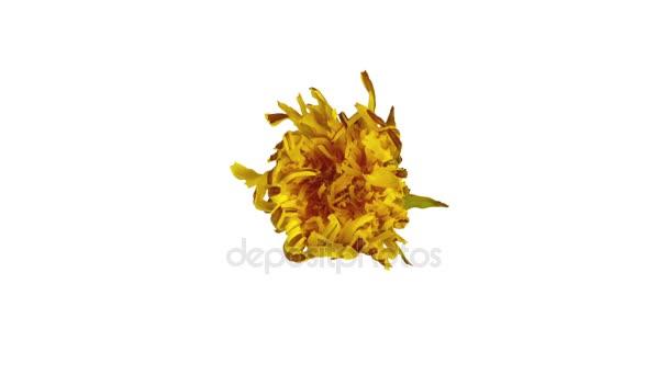 Pampeliška květ otevření, kvetoucí. Časová prodleva