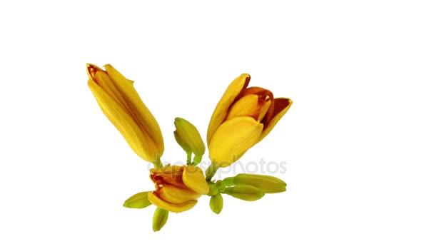 Narancssárga liliom virág virágzik