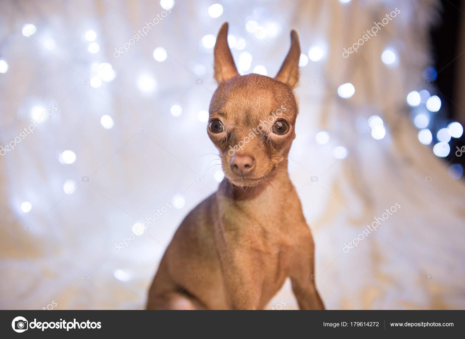 Weihnachten Hund auf dem Bett mit dem roten Schal — Stockfoto ...