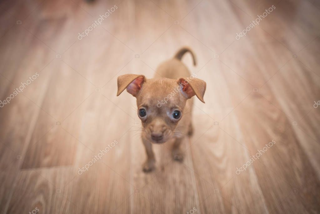 Russian toy terrier puppy on a white background