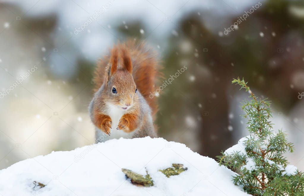 Red squirrel in the falling snow