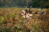 Red deer stag bellowing during the rutting season in autumn, UK