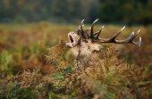 Gímszarvas szarvas bömbölt során a bőgés ősszel, Egyesült Királyság