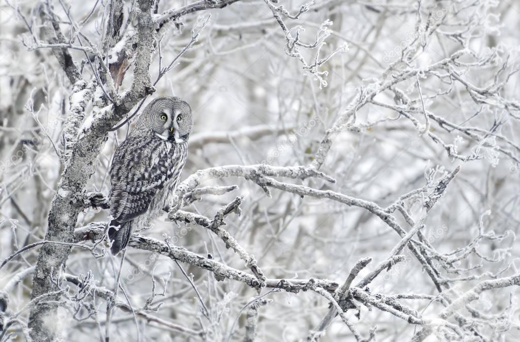 Great grey owl perching on a tree branch in winter, Finland.