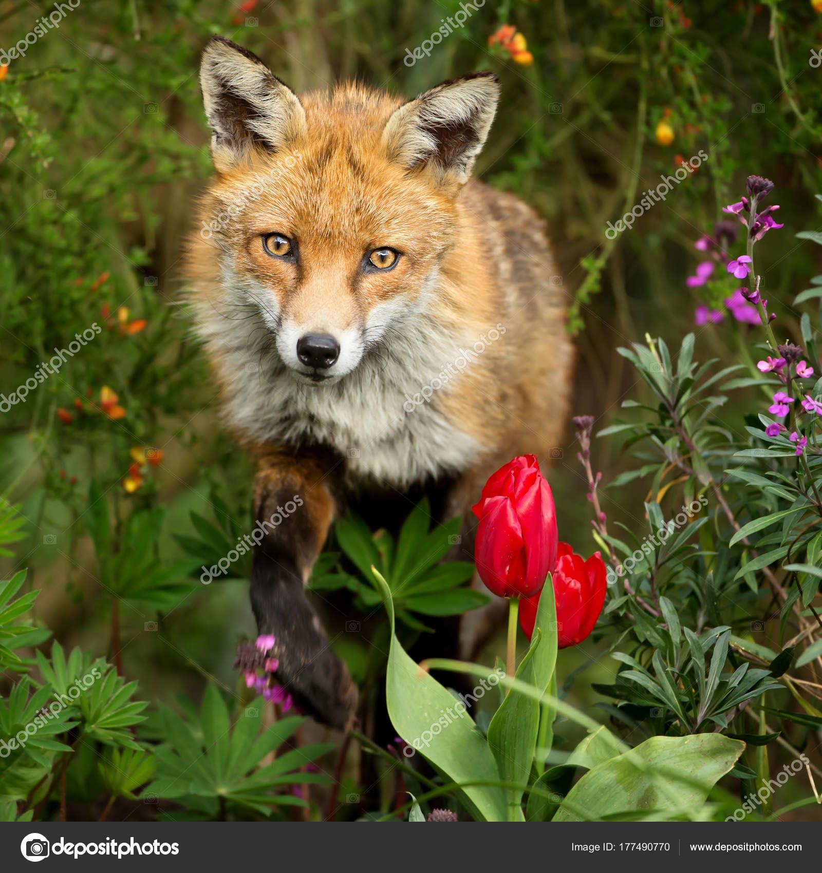 Portrait beautiful red fox standing garden spring flowers london portrait beautiful red fox standing garden spring flowers london stock photo mightylinksfo