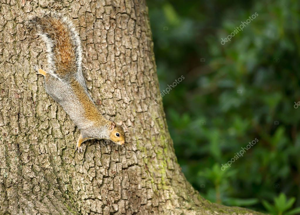 Eastern grey squirrel climbing on the tree trunk