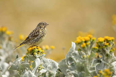 Falkland pipit perching on yellow flowers