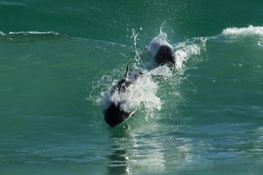 Commerson's dolphins jumping in the ocean
