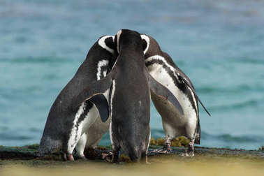 Group of Magellanic penguins gather together on the rocky coast