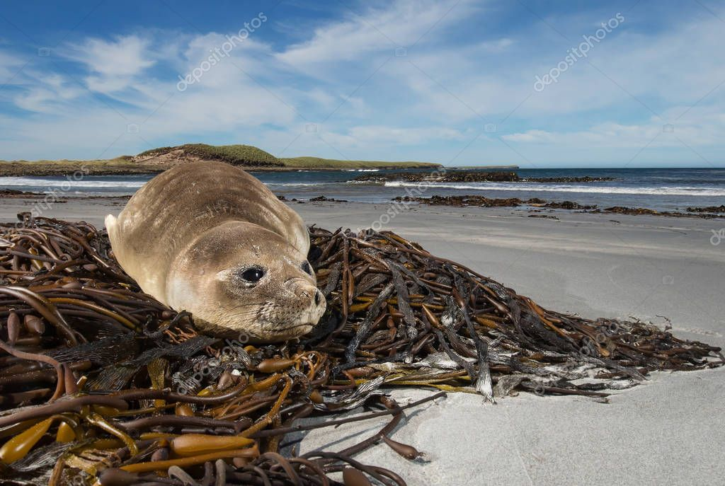 Young elephant seal on the beach, Falkland islands