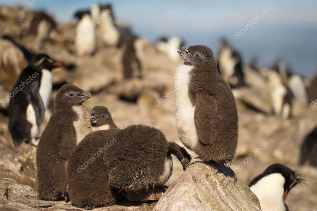 Southern rockhopper penguin chick standing on a rock
