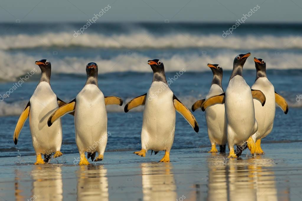 Group of Gentoo penguins coming back from sea