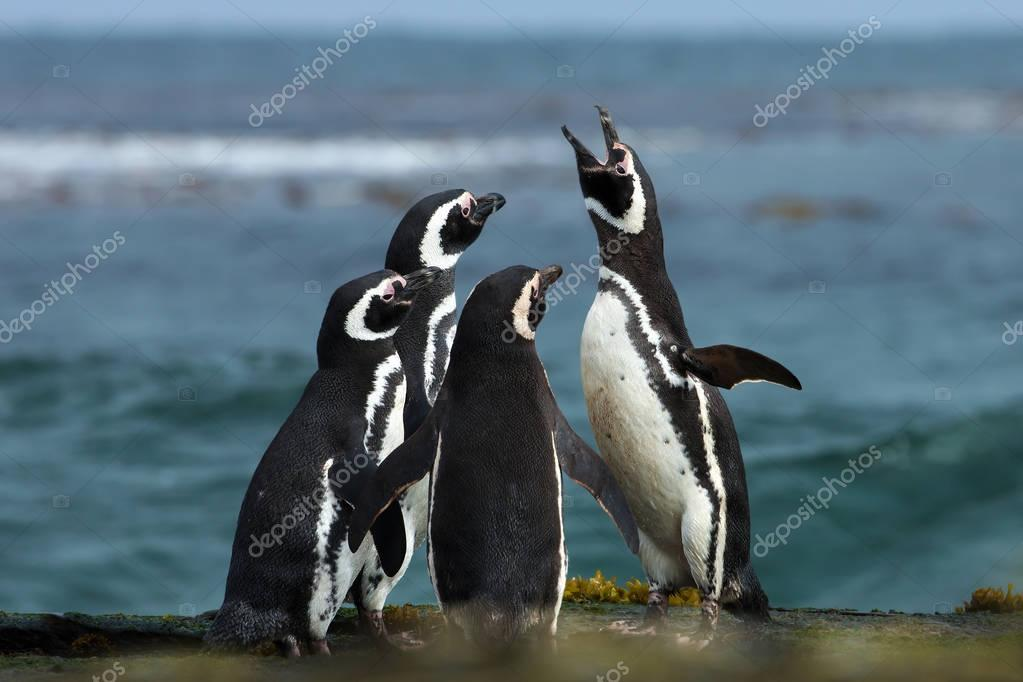A group of Magellanic penguin gather on a rocky coast of Falklan