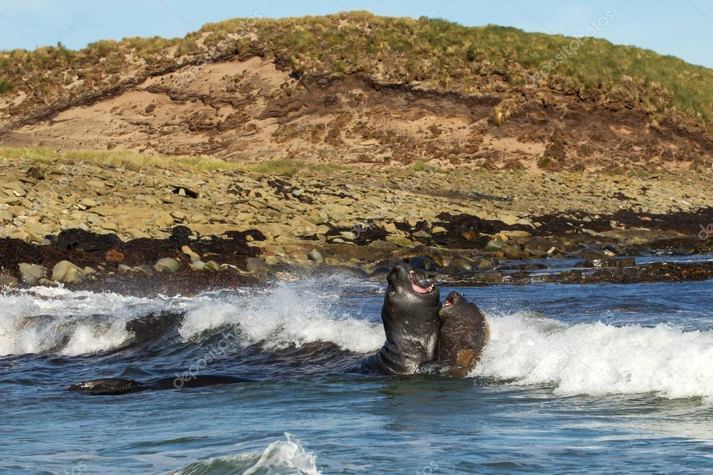 Southern elephant seals fighting in the ocean
