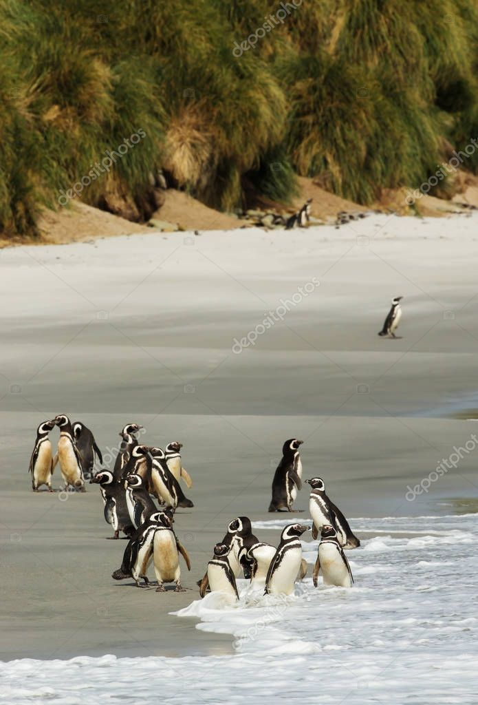 Group of Magellanic penguins on a sandy beach