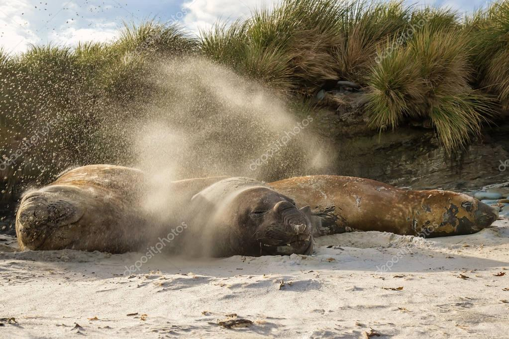 Southern elephant seal males flicking sand over themselves