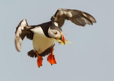Atlantic puffin in flight with nesting material in the beak