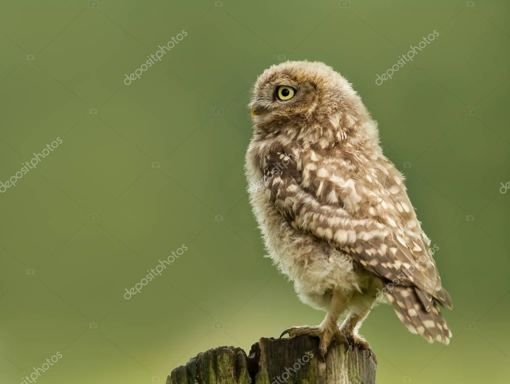 Juvenile little owl perching on a post