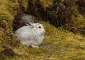 Schneehase in den Highlands von Schottland
