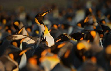 King penguins displaying aggressive behavior towards another Kin