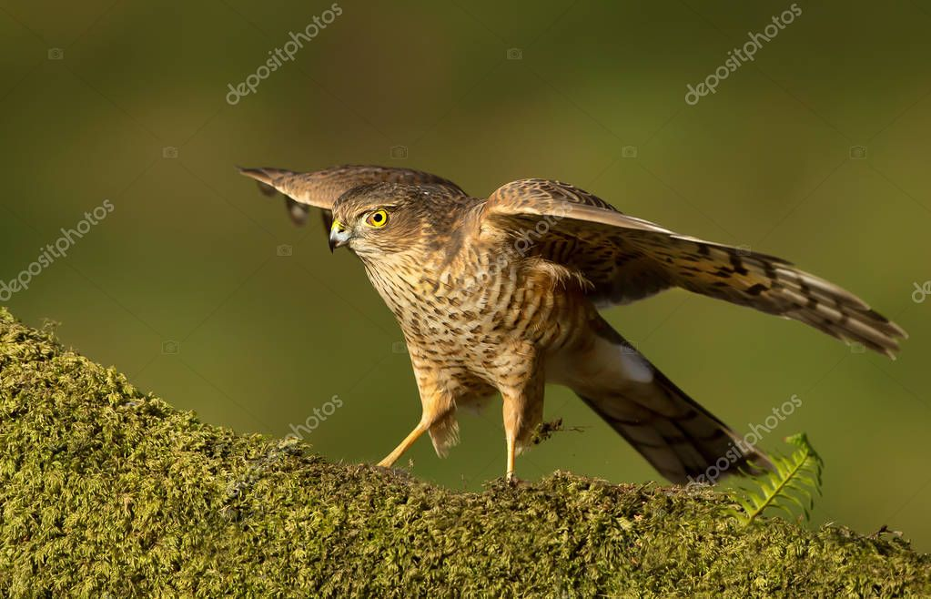 Juvenile Eurasian Sparrowhawk preening on a mossy wooden log wit
