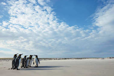 Group of King penguins on a sandy beach in Falkland islands