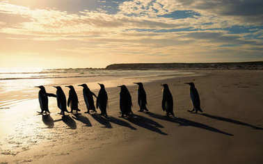 Group of King penguins walking towards the ocean on a sandy beac