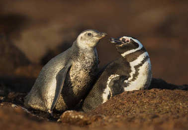 Close up of a Magellanic penguin with a chick by a burrow