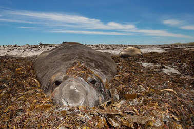 Close up of a Southern Elephant seal covered with seaweed
