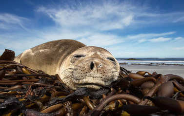 Close up of a young Southern Elephant seal sleeping on a sandy b