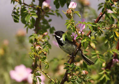 Reed bunting perching on a rose bush