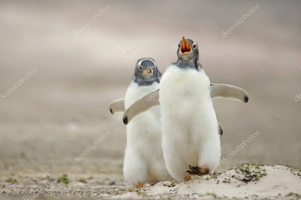 Gentoo penguin chick chasing its sibling on a sandy coast, Falkl